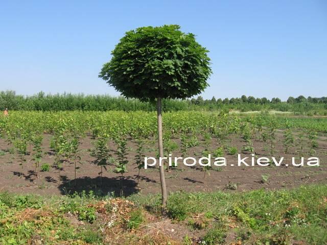 Клен остролистный шаровидный Глобозум (Acer platanoides Globosum) на штамбе ФОТО Питомник растений Природа Priroda (37)