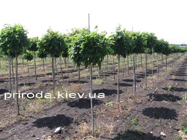 Клен остролистный шаровидный Глобозум (Acer platanoides Globosum) на штамбе ФОТО Питомник растений Природа Priroda (28)