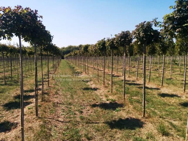 Клен гостролистий кулястий Глобозум (Acer platanoides Globosum) на штамбі ФОТО Розплідник рослин Природа Priroda (29)