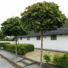 Клен остролистный шаровидный Глобозум (Acer platanoides Globosum) на штамбе ФОТО Питомник растений Природа Priroda