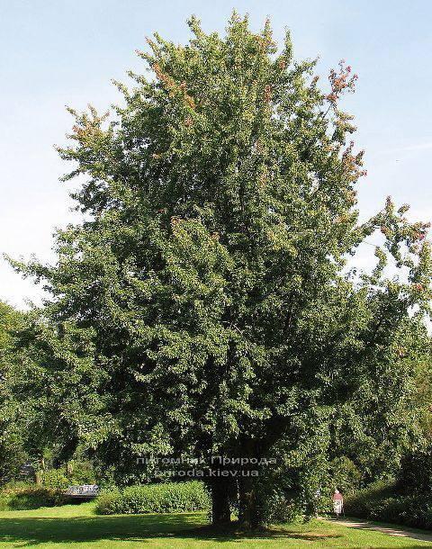 Клен сріблястий (Acer saccharinum) ФОТО Розплідник рослин Природа Priroda (14)