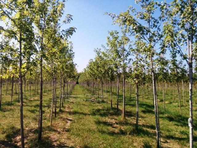 Клен сріблястий (Acer saccharinum) ФОТО Розплідник рослин Природа Priroda (15)