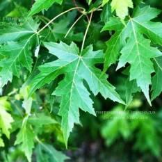 Клён серебристый (Acer saccharinum) ФОТО Питомник растений Природа Priroda