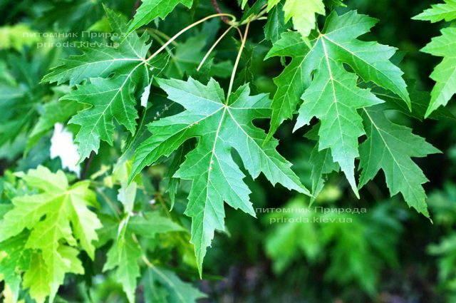Клен сріблястий (Acer saccharinum) ФОТО Розплідник рослин Природа Priroda (17)