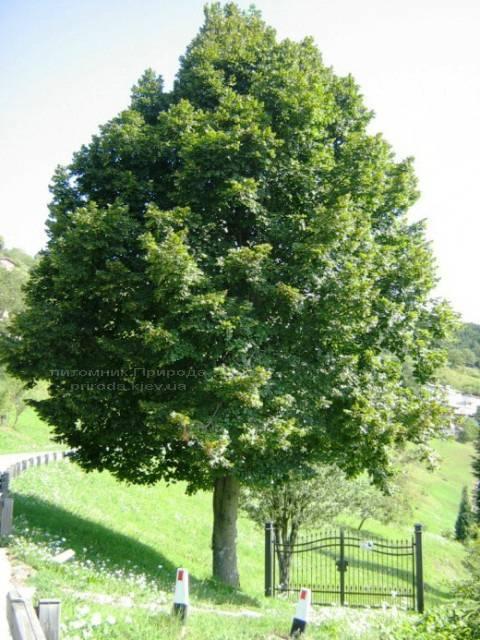 Липа європейська Эухлора/Euchlora (Tilia europea Euchlora) ФОТО Питомник растений Природа Priroda