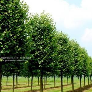 Липа европейская Паллида Tilia cordata ФОТО Питомник растений Природа Priroda