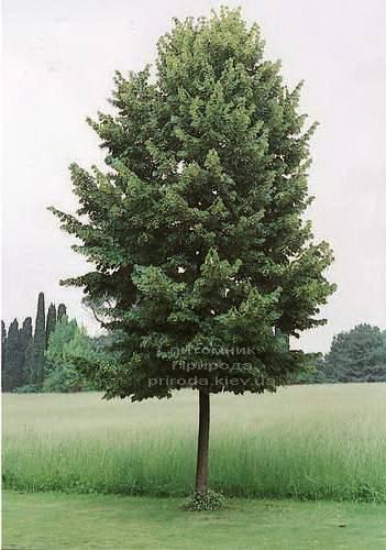 Липа європейська паллідо (Tilia europea Pallida) ФОТО Розплідник рослин Природа Priroda (19)
