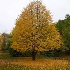 Липа европейская Паллида (Tilia europea Pallida) ФОТО Питомник растений Природа Priroda