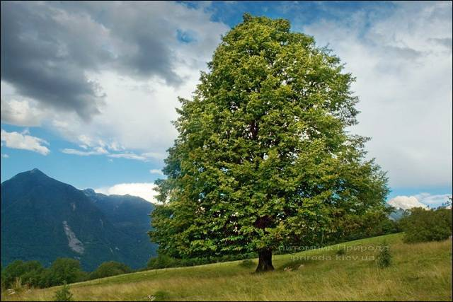 Липа мелколистная Tilia cordata ФОТО Питомник растений Природа Priroda (1)