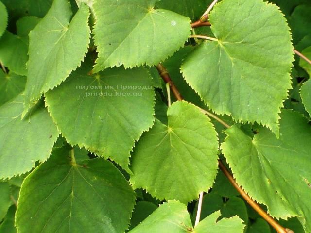 Липа мелколистная Tilia cordata ФОТО Питомник растений Природа Priroda (2)