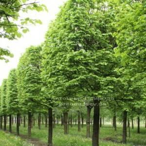 Липа мелколистная Tilia cordata ФОТО Питомник растений Природа Priroda