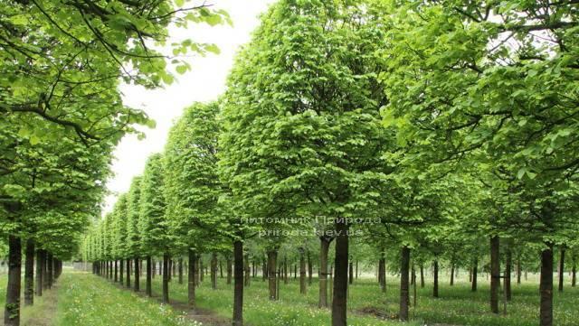 Липа мелколистная Tilia cordata ФОТО Питомник растений Природа Priroda (3)
