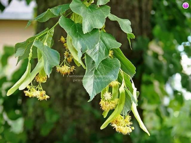 Липа мелколистная Tilia cordata ФОТО Питомник растений Природа Priroda (4)