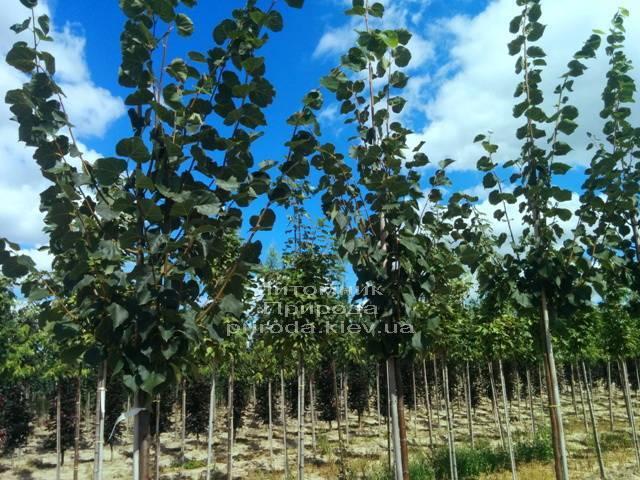 Липа мелколистная Гринспайр (Tilia cordata Greenspire) ФОТО Питомник растений Природа Priroda