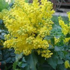 Магония падуболистная (Mahonia aquifolium) ФОТО Питомник растений Природа Priroda