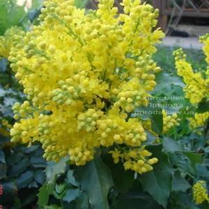 Магония падуболистная (Mahonia aquifolium) ФОТО Питомник растений Природа Priroda (1)