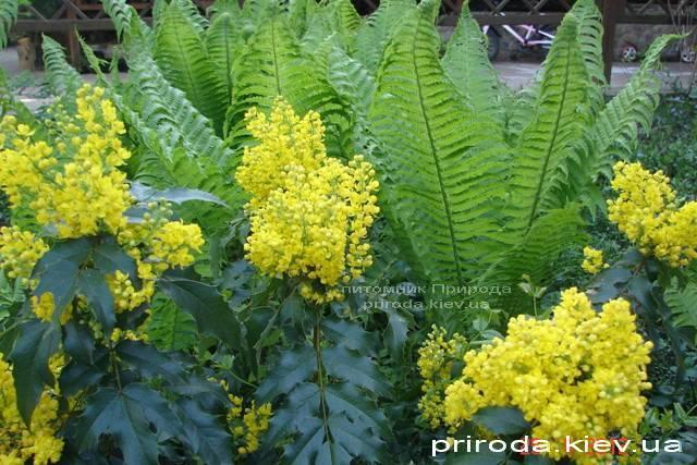 Магония падуболистная (Mahonia aquifolium) ФОТО Питомник растений Природа Priroda (3)
