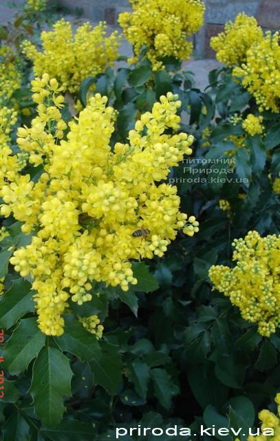 Магония падуболистная (Mahonia aquifolium) ФОТО Питомник растений Природа Priroda (7)