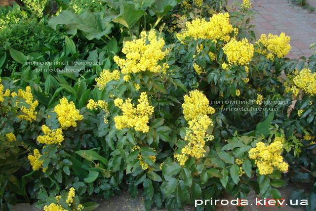 Магония падуболистная (Mahonia aquifolium) ФОТО Питомник растений Природа Priroda (8)