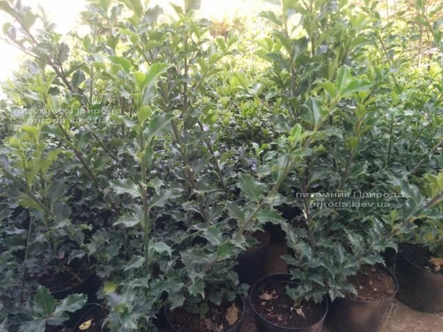 Падуб остролистный (Ilex aquifolium) ФОТО Питомник растений Природа Priroda (1)