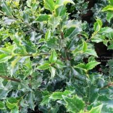 Падуб остролистный (Ilex aquifolium) ФОТО Питомник растений Природа Priroda