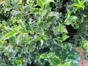 Падуб остролистный (Ilex aquifolium) ФОТО Питомник растений Природа Priroda (3)