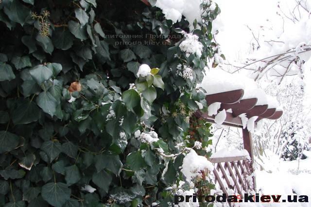 Плющ обыкновенный (Hedera helix) ФОТО Питомник растений Природа Priroda (1)