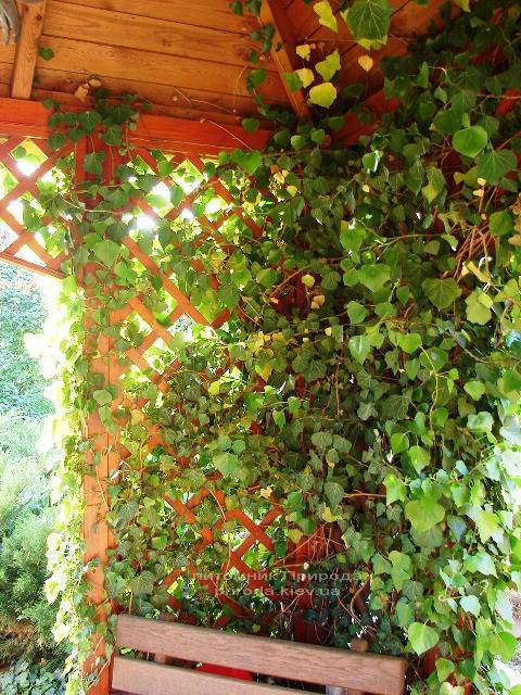 Плющ обыкновенный (Hedera helix) ФОТО Питомник растений Природа Priroda (5)