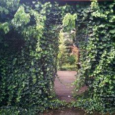 Плющ обыкновенный (Hedera helix) ФОТО Питомник растений Природа Priroda (13)