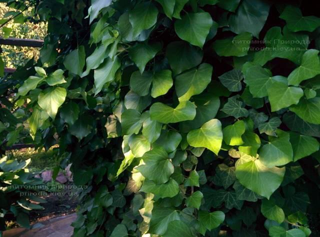Плющ обыкновенный (Hedera helix) ФОТО Питомник растений Природа Priroda