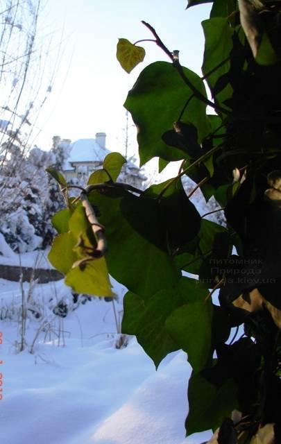 Плющ обыкновенный (Hedera helix) ФОТО Питомник растений Природа Priroda (2)