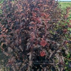 Пузыреплодник калинолистный Диаболо (Physocarpus opulifolius Diabolo) ФОТО Питомник растений Природа Priroda