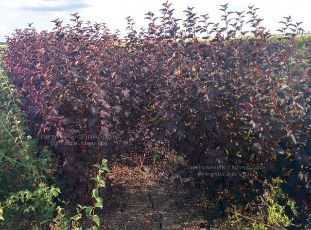 Міхуроплідник калінолістний Диаболо (Physocarpus opulifolius Diabolo) ФОТО Розплідник рослин Природа Priroda (2)