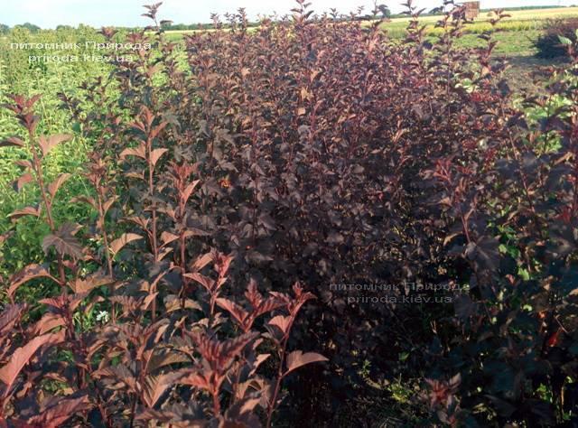 Пузыреплодник калинолистный Диаболо (Physocarpus opulifolius Diabolo) ФОТО Питомник растений Природа Priroda (3)