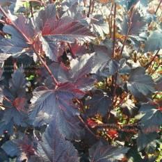 Пузыреплодник калинолистный Диаболо (Physocarpus opulifolius Diabolo) ФОТО Питомник растений Природа Priroda (4)