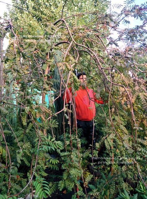 Рябина обыкновенная плакучая Пендула (Sorbus aucuparia Pendula) на штамбе ФОТО Питомник растений Природа Priroda (15)