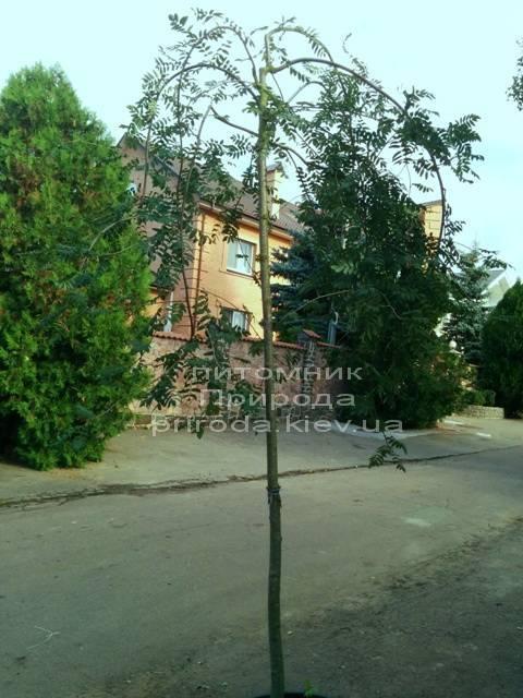 Рябина обыкновенная плакучая Пендула (Sorbus aucuparia  Pendula) на штамбе ФОТО Питомник растений Природа Priroda