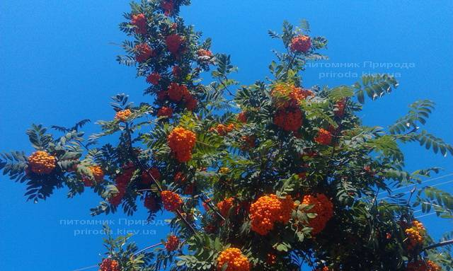 Рябина обыкновенная плакучая Пендула (Sorbus aucuparia Pendula) на штамбе ФОТО Питомник растений Природа Priroda (18)