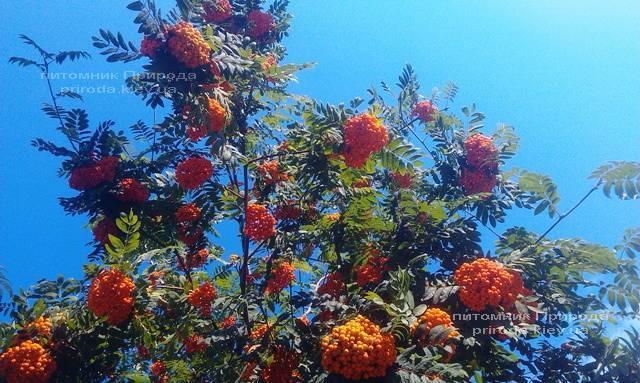 Рябина обыкновенная плакучая Пендула (Sorbus aucuparia Pendula) на штамбе ФОТО Питомник растений Природа Priroda (21)