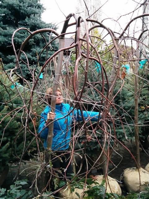 Рябина обыкновенная плакучая Пендула (Sorbus aucuparia Pendula) на штамбе ФОТО Питомник растений Природа Priroda (20)