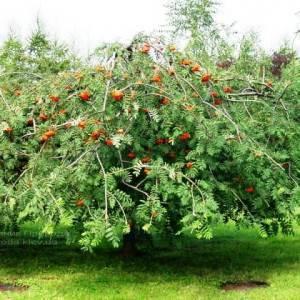 Рябина обыкновенная плакучая Пендула (Sorbus aucuparia Pendula) на штамбе ФОТО Питомник растений Природа Priroda (19)