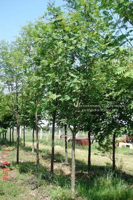 Рябина обыкновенная (Sorbus aucuparia) ФОТО Питомник растений Природа Priroda (7)