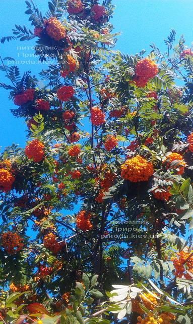 Рябина обыкновенная (Sorbus aucuparia) ФОТО Питомник растений Природа Priroda (10)