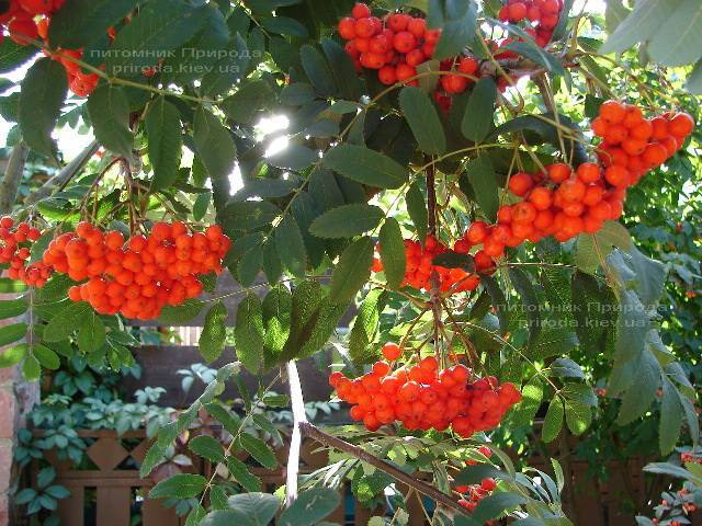 Горобина звичайна (Sorbus aucuparia) ФОТО Розплідник рослин Природа Priroda (11)