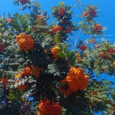 Рябина обыкновенная (Sorbus aucuparia) ФОТО Питомник растений Природа Priroda