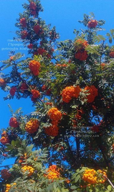 Рябина обыкновенная (Sorbus aucuparia) ФОТО Питомник растений Природа Priroda (13)