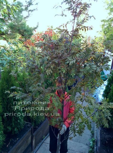 Рябина обыкновенная (Sorbus aucuparia) ФОТО Питомник растений Природа Priroda (14)