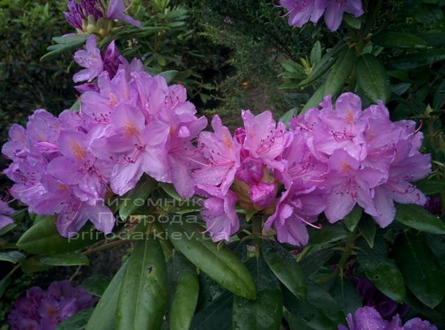Рододендрон крупноцветковый Катебинский Грандифлорум (Rododendron Catawbiense Grandiflorum) ФОТО Питомник растений Природа Priroda (57)