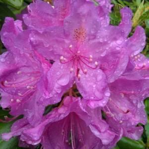 Рододендрон крупноцветковый Катебинский Грандифлорум (Rododendron Catawbiense Grandiflorum) ФОТО Питомник растений Природа Priroda