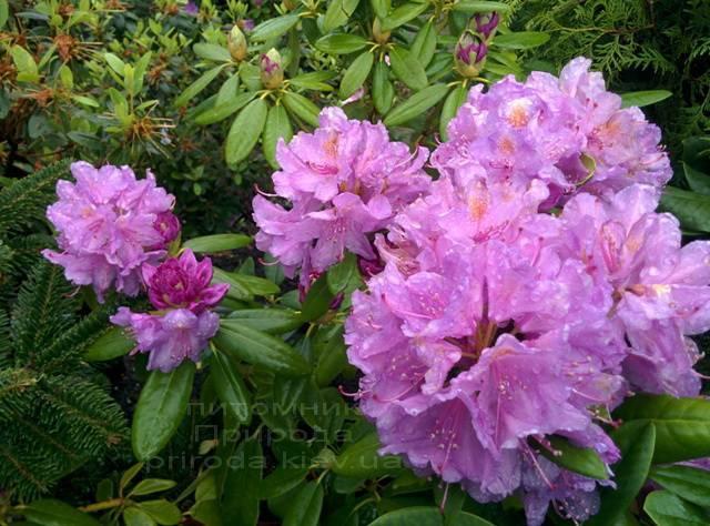 Рододендрон крупноцветковый Катебинский Грандифлорум (Rododendron Catawbiense Grandiflorum) ФОТО Питомник растений Природа Priroda (69)